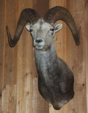 E-790-STONE SHEEP HEADMOUNT