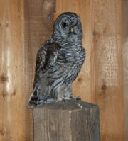 PG-BARRED OWL-5