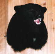 PG-BLACK-BEAR-HEAD