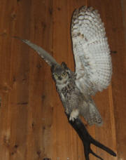 PG-HORNED-OWL-1