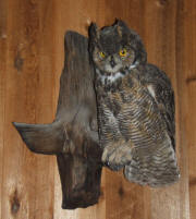 PG-HORNED-OWL-2