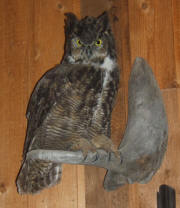 PG-HORNED-OWL-3