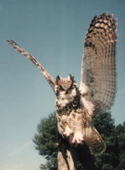 PG-HORNED-OWL-5