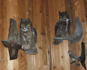 PG-HORNED-OWL-4
